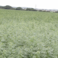 a field of hemp