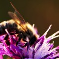 honey bee FEATURE