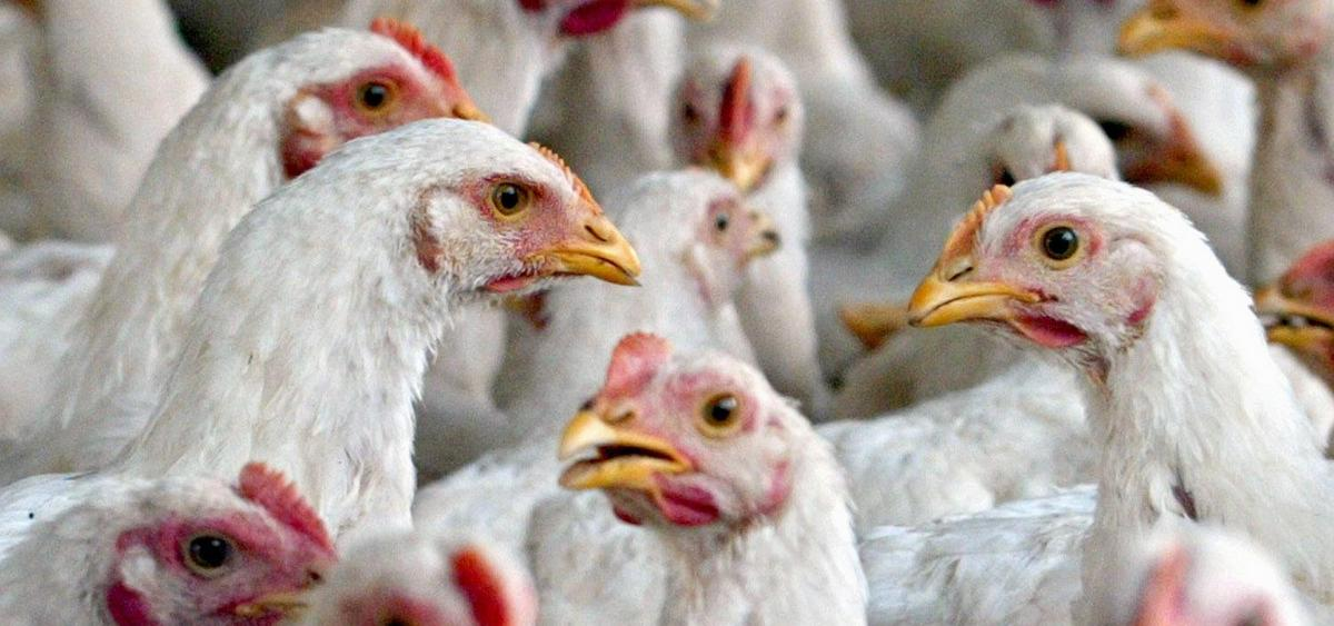 Ohio State Fair Offering Alternatives to Poultry Show ...