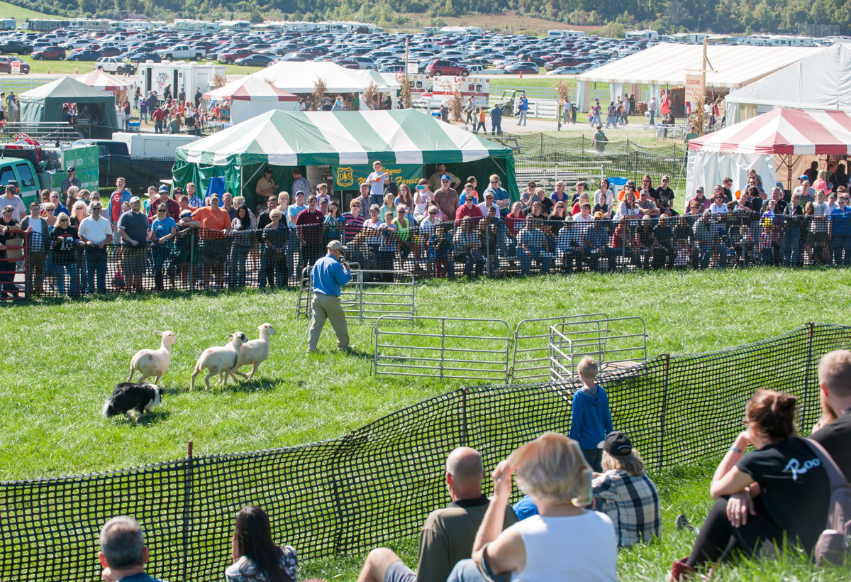 Alan Miller of Bloomfield, Ky., demonstrates sheep herding by his Border Collies at the 45th annual Bob Evans Farm Festival at the Bob Evans Farm in Rio Grande, Ohio, on Sunday, Oct. 11, 2015. (Yi-Ke Peng/WOUB)