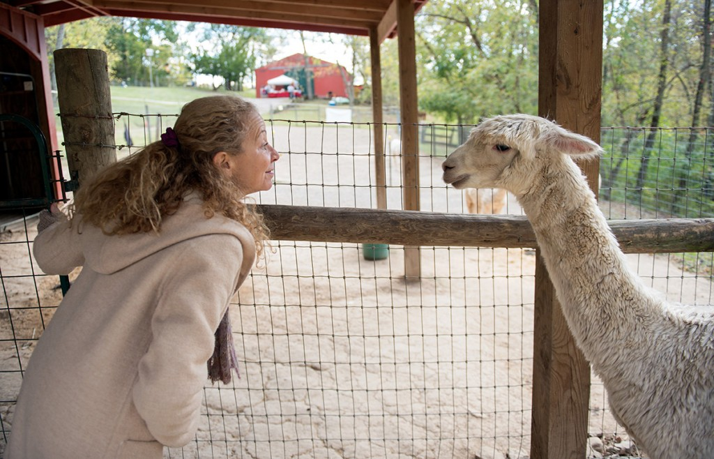 Marilyn Wentworth looks at on of her Alpacas at open house for the Phoenix Hill farm in Athens, Ohio on Oct. 18, 2015. Wentworth currently has 10 Alpacas. (Jeffrey Zide / WOUB)