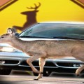 DEER CROSSING CRASHES