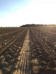 Hemp seedlings on a western Kentucky farm. (Credit: Joseph Kelly)