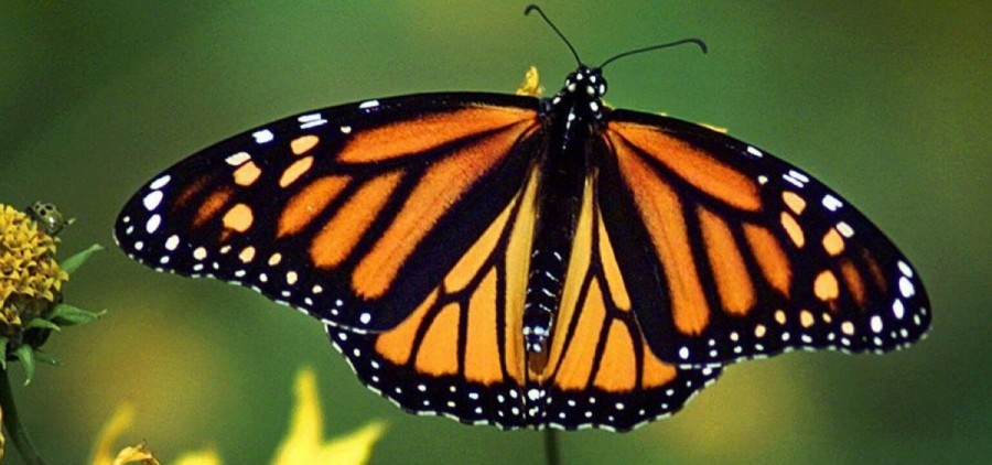 monarch butterfly feature