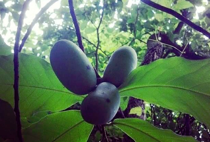 Pawpaws nestled in their natural environment. (ohiopawpawfestival.com)