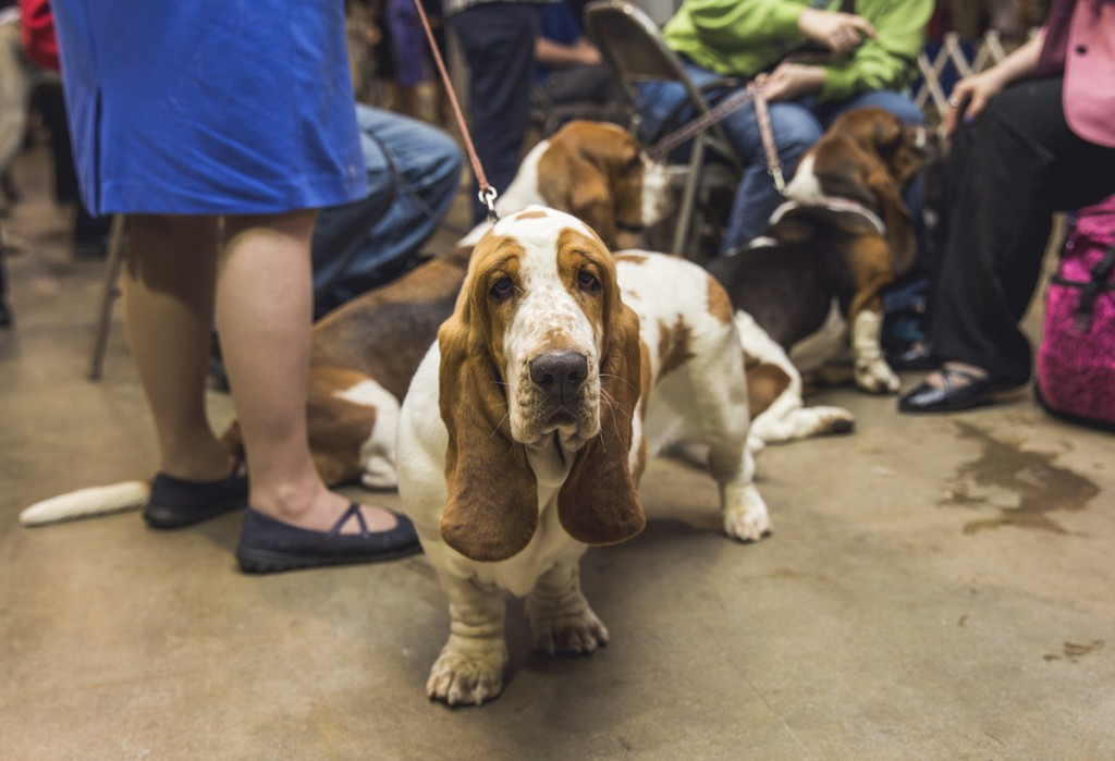 Bassett Hounds gather at the Central Ohio Kennel Club Dog Show in Columbus, Ohio on April 23, 2017. (Erin Clark/WOUB)