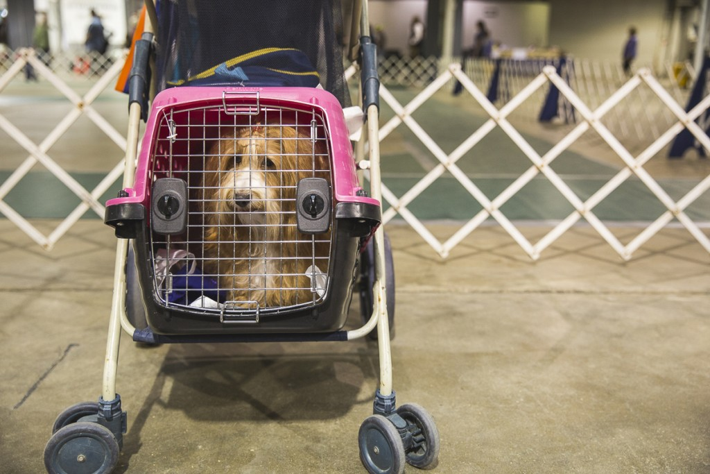 A dog waits patiently at the Central Ohio Kennel Club Dog Show in Columbus, Ohio on April 23, 2017. (Erin Clark/WOUB)