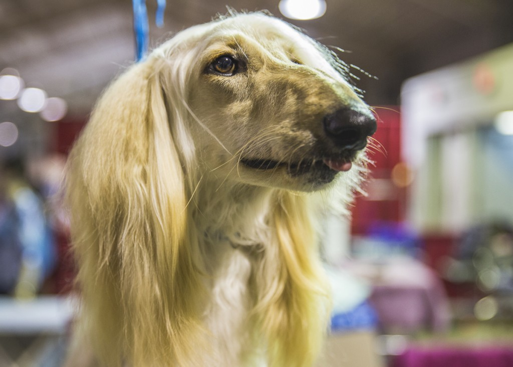 Star, a 16-month-old Afghan Hound, poses for a photo at the Central Ohio Kennel Club Dog Show. (Erin Clark/WOUB)