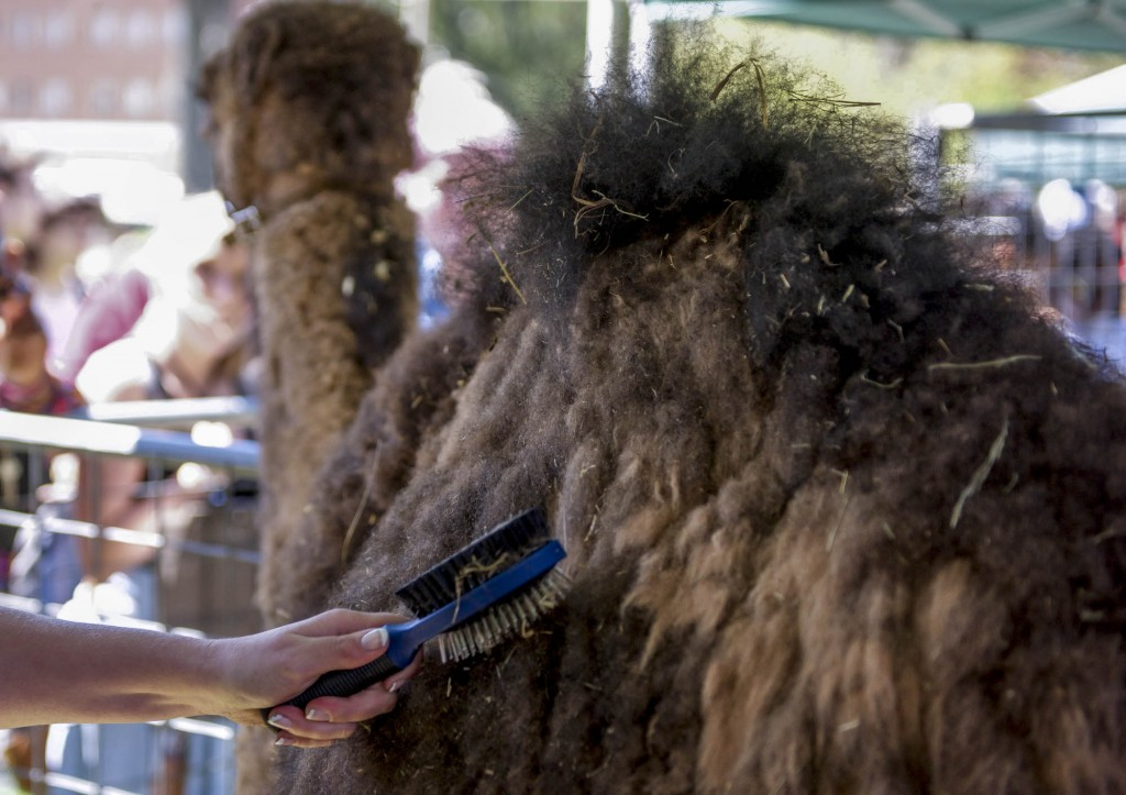 Allision Osting brushes the hay off of Carl inside one of the pens at the Zoo To You event on April 18, 2017. (Daniel Linhart/WOUB)