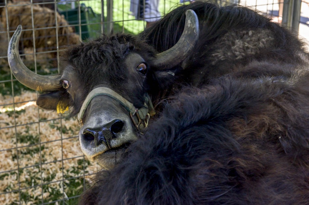 A yak at Zoo To You event held by Jungle Zoo Island at Ohio University on Tuesday, April 18, 2017. (Daniel Linhart/WOUB)