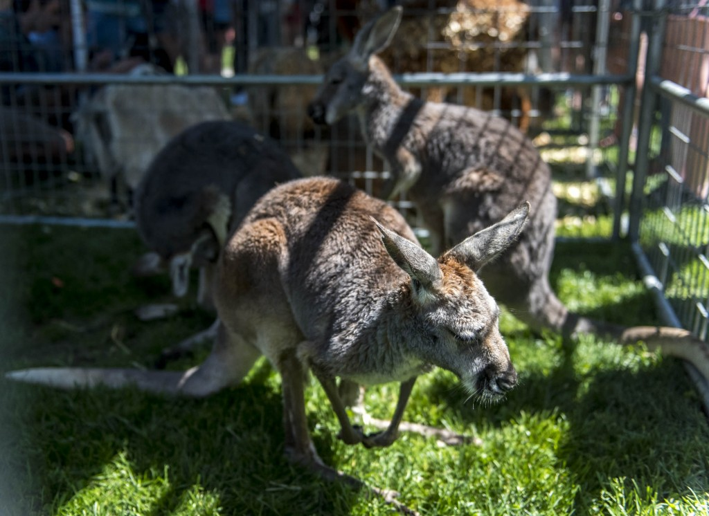 Baby kangaroos at the Zoo To You Event on Tuesday, April 18, 2017. (Daniel Linhart/WOUB)