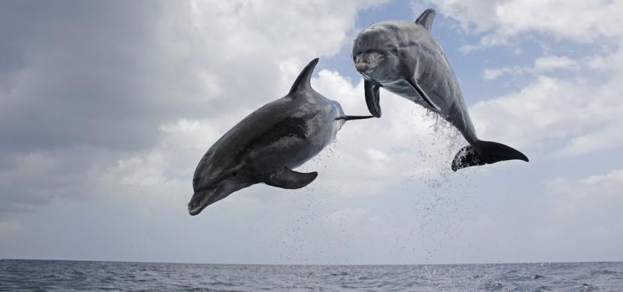 Dolphin - Spy in the Pod Episode 1 Picture Shows: Jumping pair of bottlenose dolphins