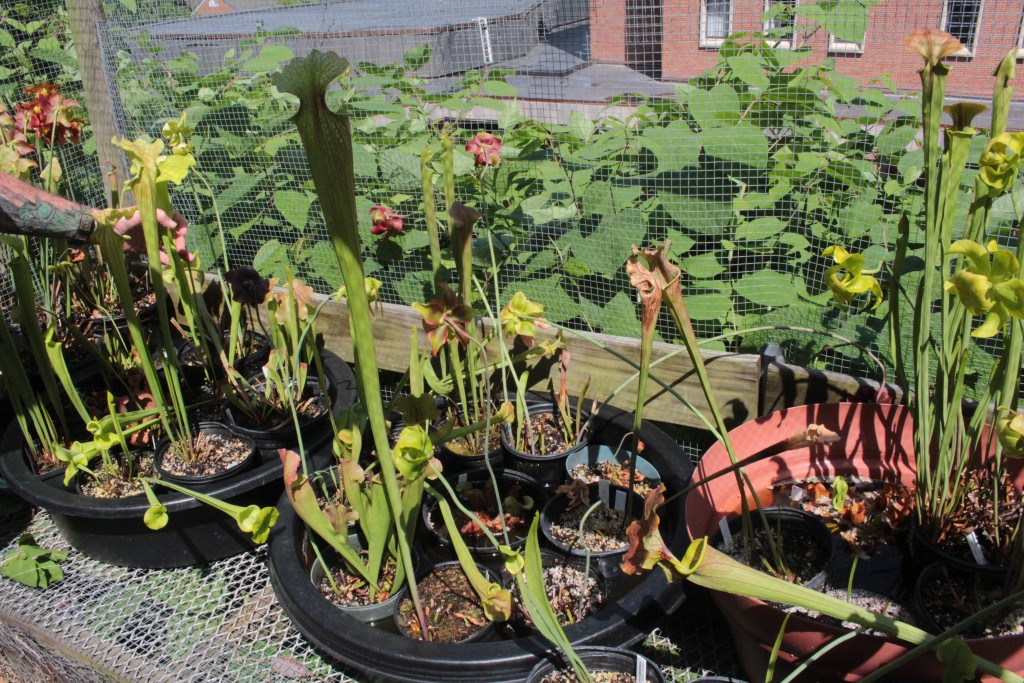 An assortment of carnivorous plants in Ohio University's greenhouse. (WOUB/Emily Votaw)