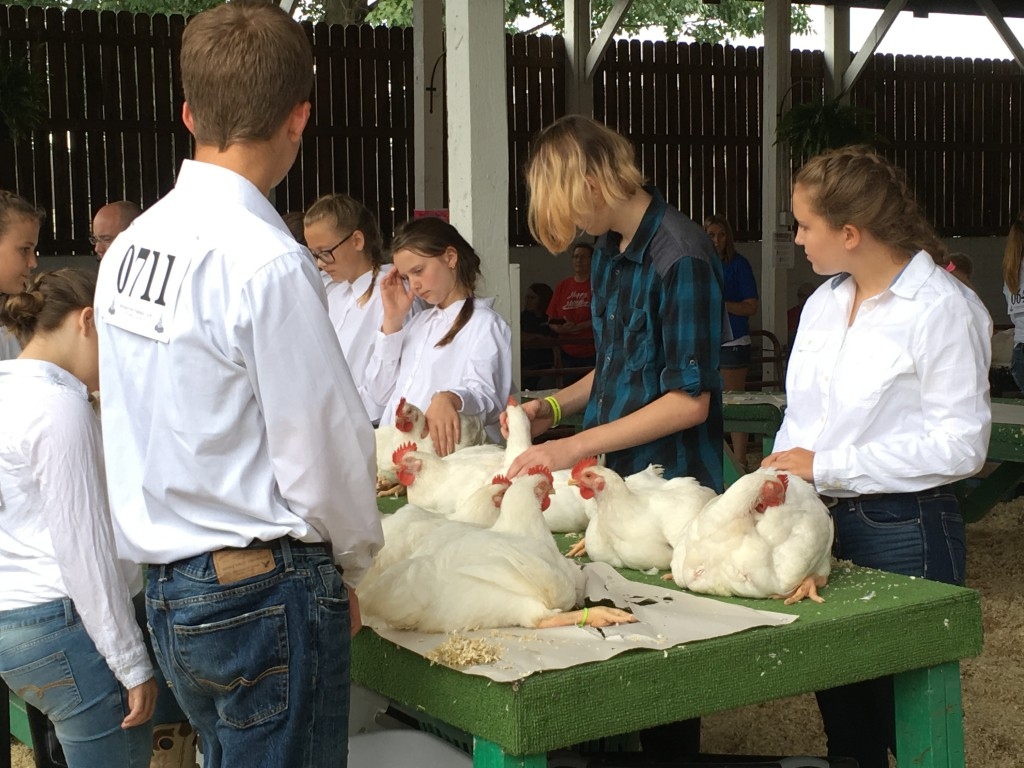Members of 4H show their market chickens Monday at the Athens County Fair. Photo by Susan Tebben / WOUB News