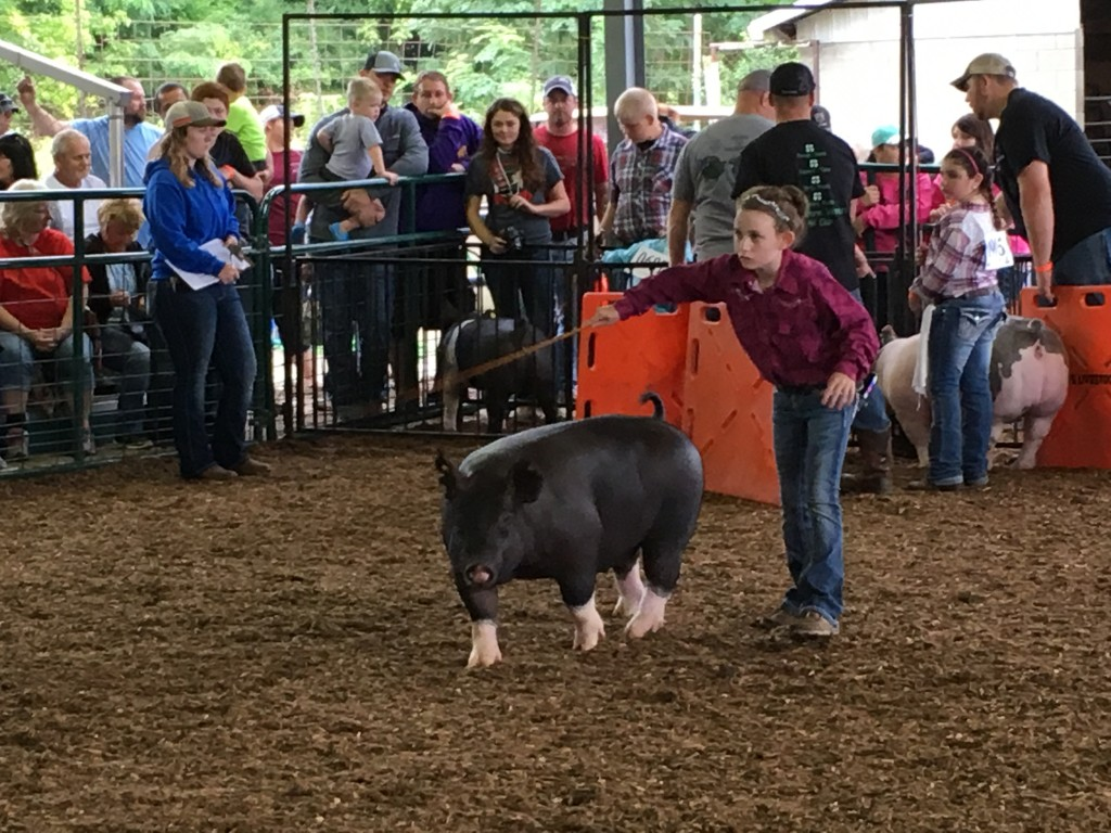 Competitors work their pigs in the Swine Barn at the Athens County Fair.  Photo by Susan Tebben / WOUB News