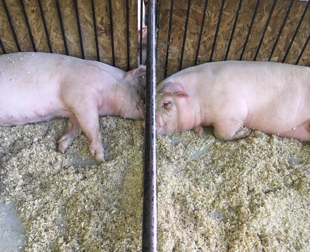 Two hogs nap in the Swine Barn at the Athens County Fair.  Photo by Susan Tebben / WOUB News