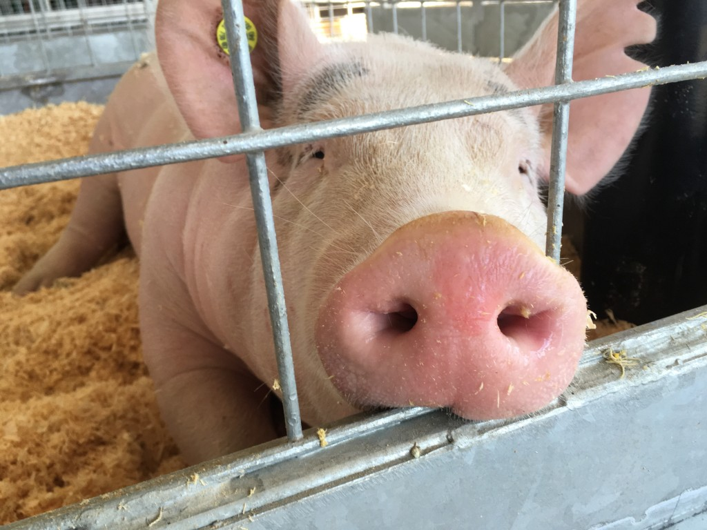 A hog owned by Halee Robinson dozes in the Champion Barn on Tuesday. Photo by Susan Tebben / WOUB News