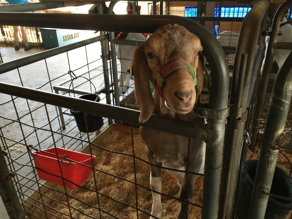 A goat tries to get a better look in the sheep and goat barn at the Athens County Fair.  Photo by Susan Tebben / WOUB News