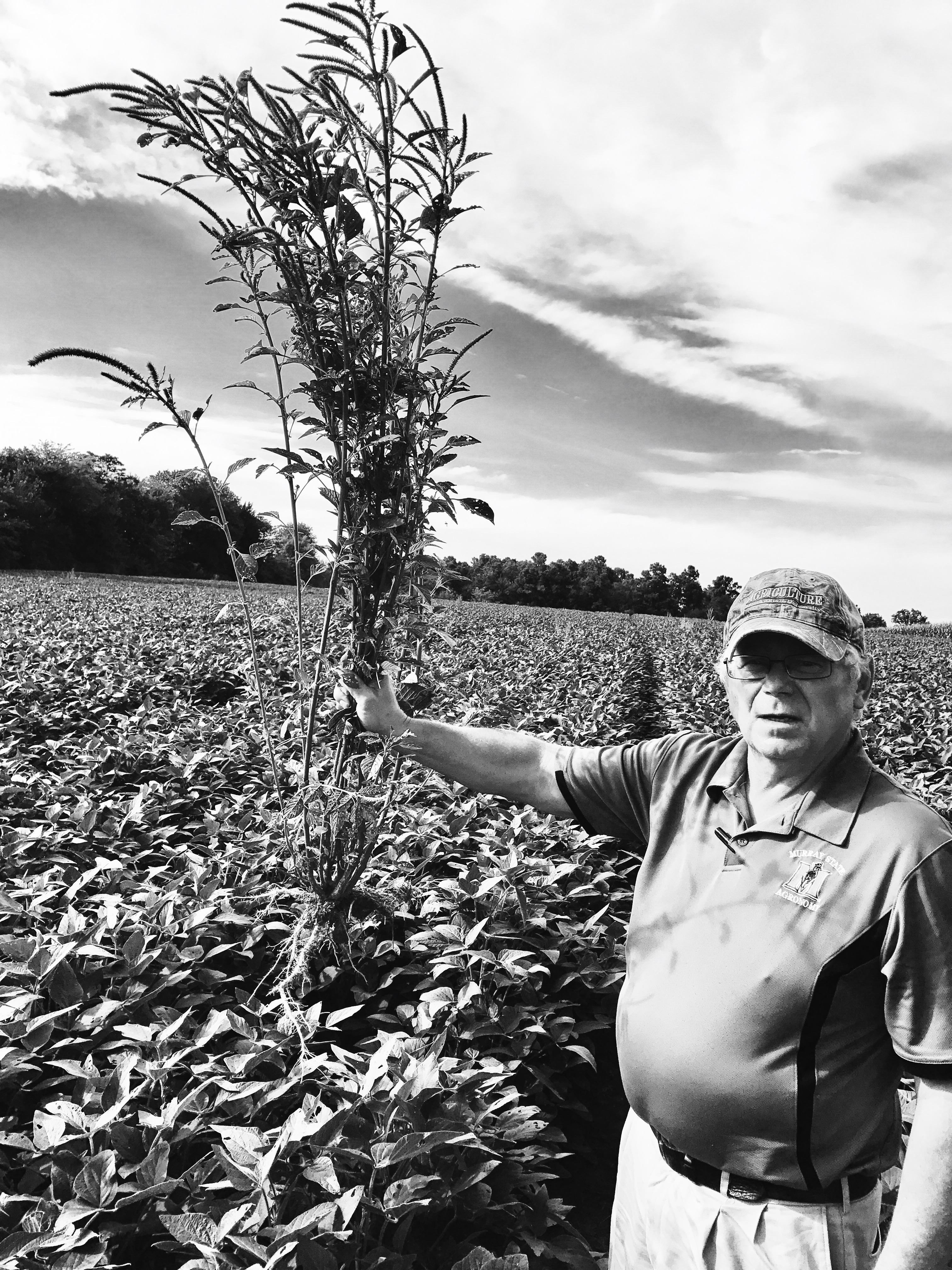 David Ferguson pulls Palmer Ameranth from the university soybean crop