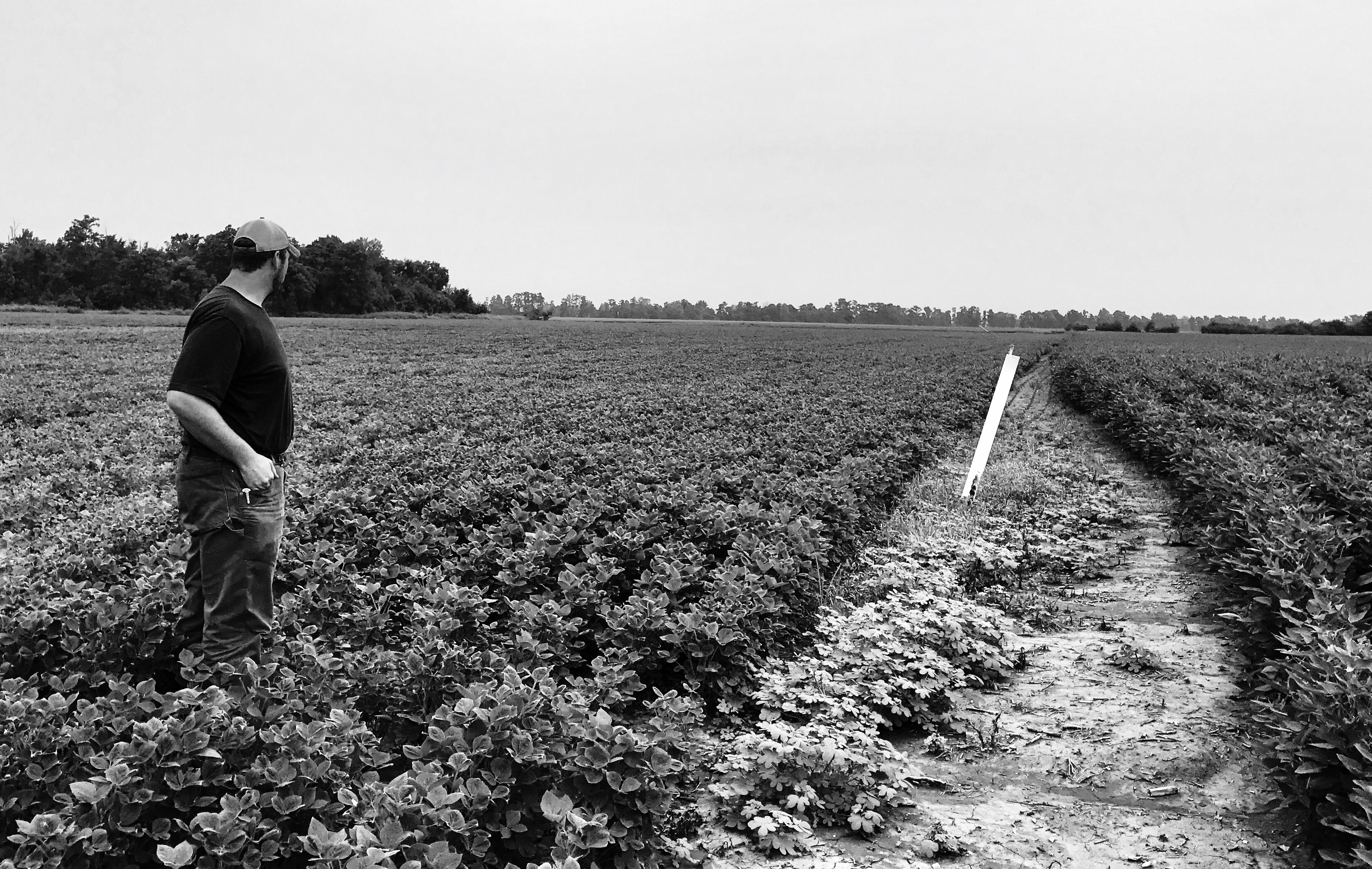 Jacob Goodman inspects a field of soybeans on his farm. (Nicole Erwin | Ohio Valley ReSource)