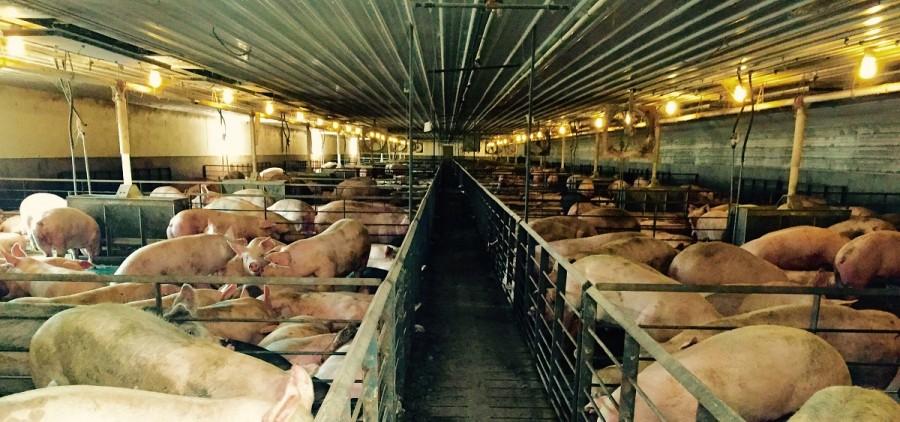hog-tied-obryan-hogs-edit