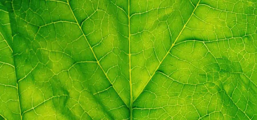 Spinach leaf, detail
