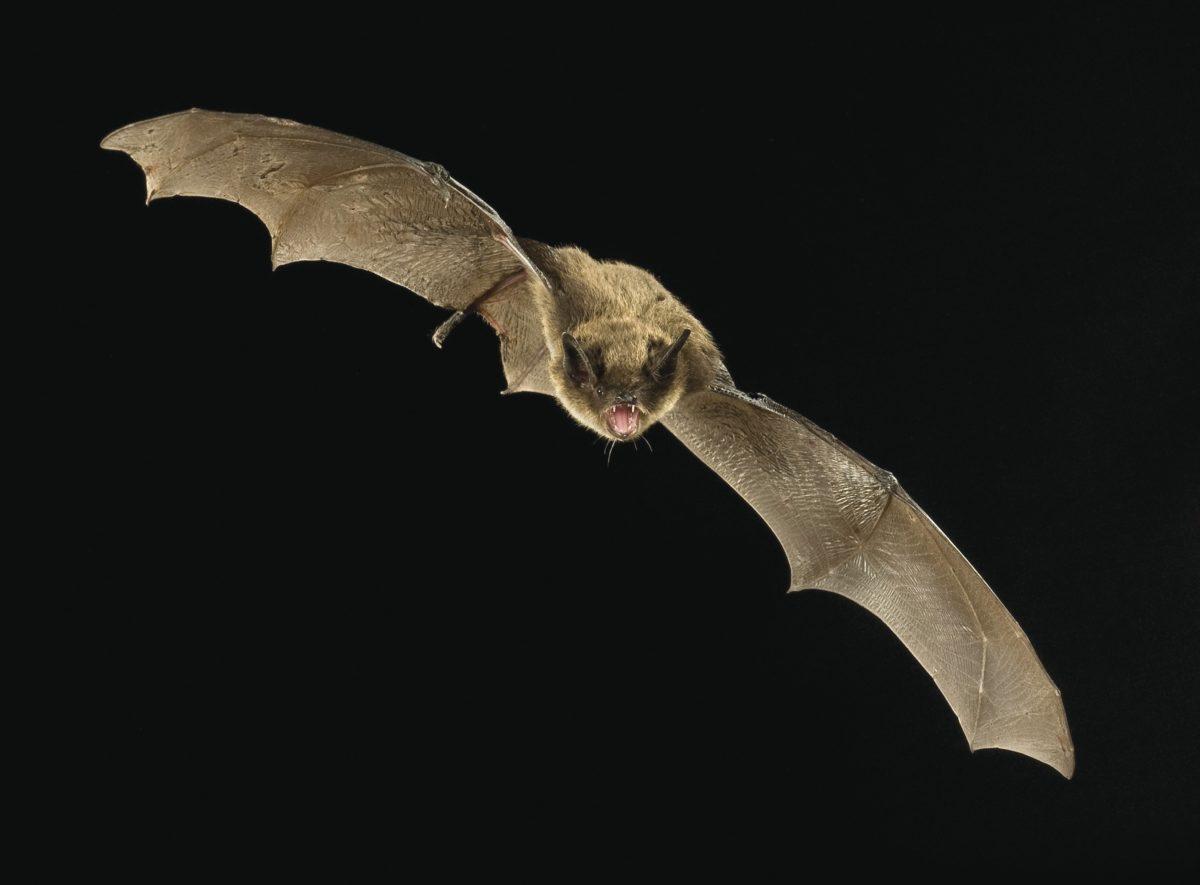 A Little Brown Bat in flight. (Michael Durham | Bat Conservation International)