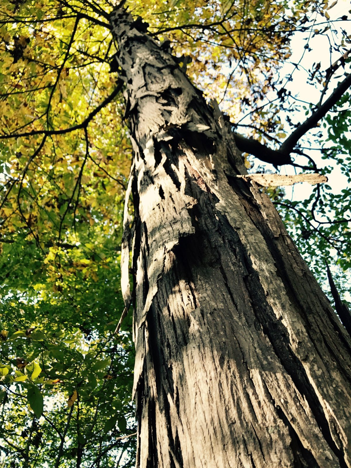 In addition to caves, trees like the Shagbark Hickory provide roosts for small bats. (Nicole Erwin | Ohio Valley ReSource)