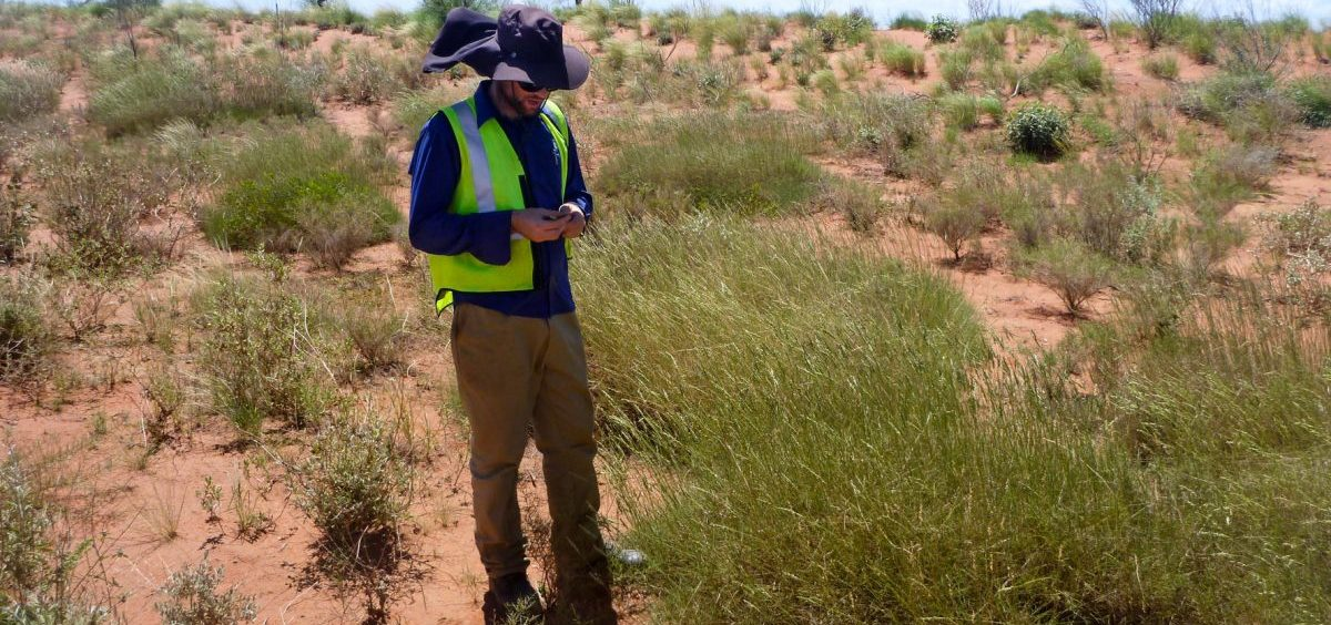 Ben Anderson collects grass samples in Western Australia. Spinifex tastes to some like salt and vinegar chips — but it's so hard and spiky that scientists say collecting samples can be painful.