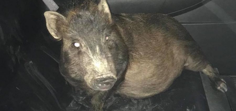 """This pig was following a man in Ohio as he walked home. Police thought the man was """"obviously drunk,"""" until they saw for themselves."""