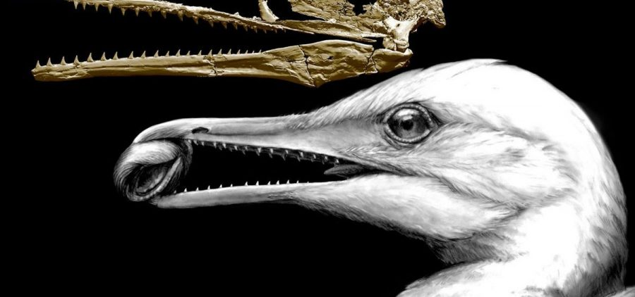 A CT-scan image of the skull of an ancient bird shows how one of the earliest bird beaks worked as a pincer, in the way beaks of modern birds do, but also had teeth left over from dinosaur ancestors. The animal, called Ichthyornis, lived around 100 million years ago in what is now North America.