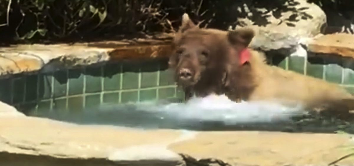 A bear entered a backyard in Altadena, Calif., and spent some time in the hot tub.