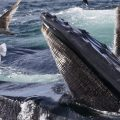 Humpback whales feed at the Stellwagen Bank National Marine Sanctuary near Provincetown, Mass., in July 2014.