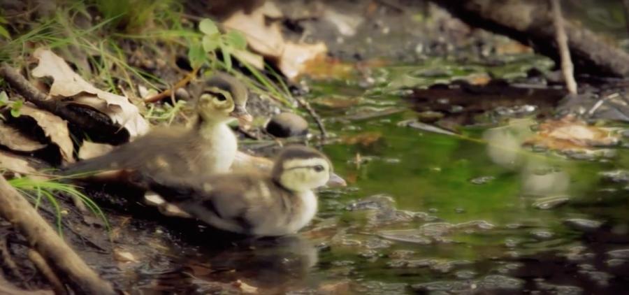 baby ducks near pond