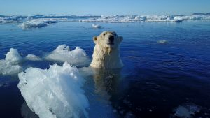 polar bear in water with ice
