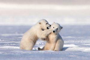 two polar bear cubs