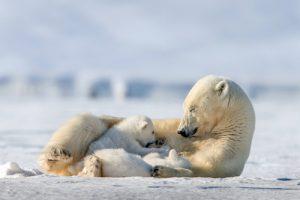 motehr polar bear nursing cub