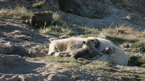 This has never been documented before: A second female takes care and feeds the wolf pups with milk.