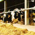 Cows at a dairy farm