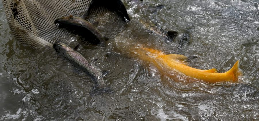 A golden Rainbow Trout is in the mix of other adult trout being stocked