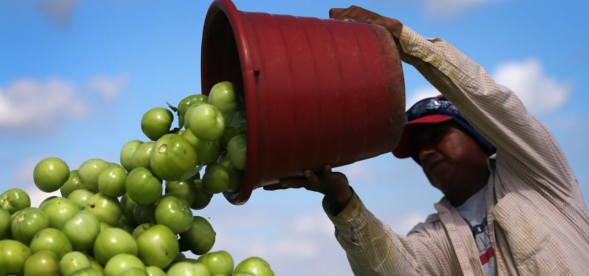 A worker dumps a bucket of tomatoes into a trailer at DiMare Farms in Florida City, Fla., in 2013. The Trump administration is preparing to level a new tariff on fresh tomatoes imported from Mexico in response to complaints from Florida growers.