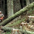 A logger cuts a large fir tree in the Umpqua National Forest near Oakridge, Ore. Federal land managers are proposing a sweeping rule change that could expand commercial logging on Forest Service land.