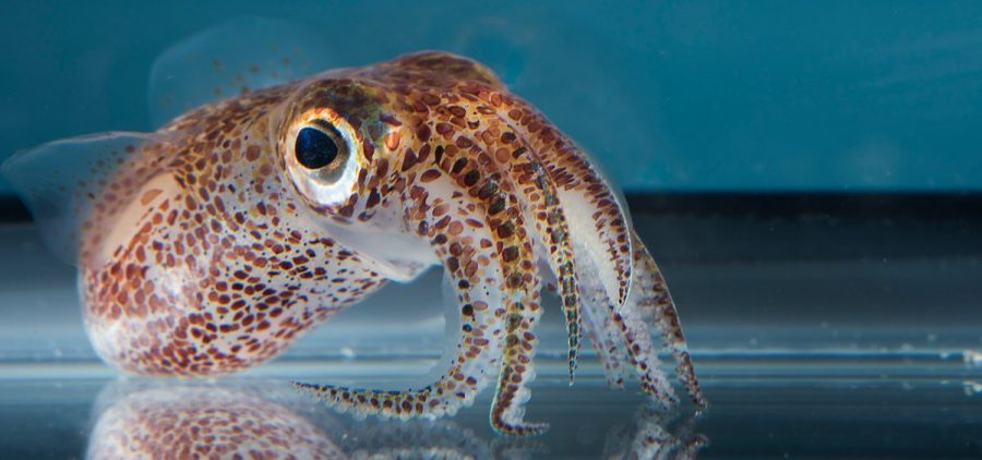A close-up shows the juvenile California two-spot octopus (left). An adult Hawaiian bobtail squid is seen on the right.