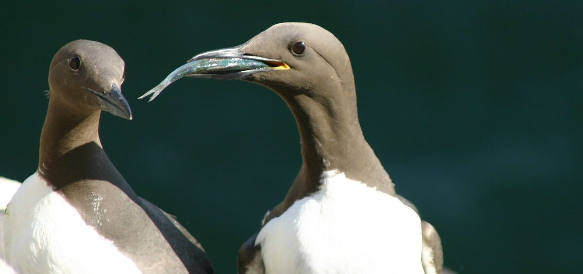 A common guillemot (Uria aalge) brings a sprat to feed to its chick. The laying dates of this species were followed for 19 consecutive years on the Isle of May, off the coast of southeast Scotland. According to a new paper in Nature Communications, many birds are adapting to climate change — but probably not fast enough.