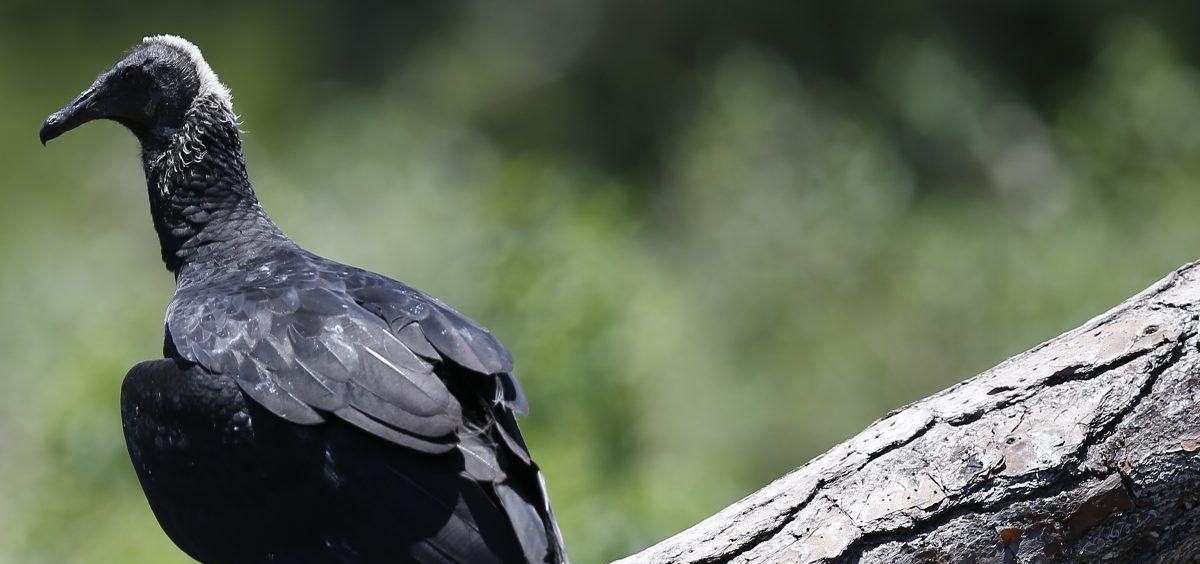A black vulture sits a top of a tree