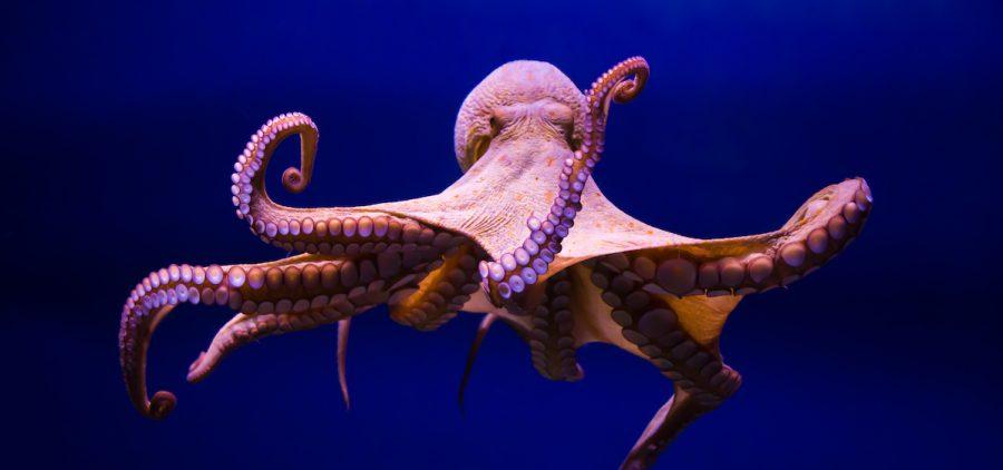 NATURE - Octopus