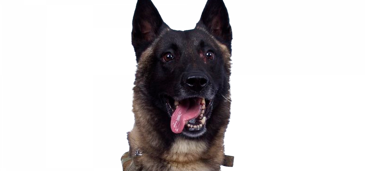 US Military working dog, a Belgian Malinois, that was injured tracking down Abu Bakr al-Baghdadi in a tunnel beneath his compound in Syria, US Government handout provided by President Trump