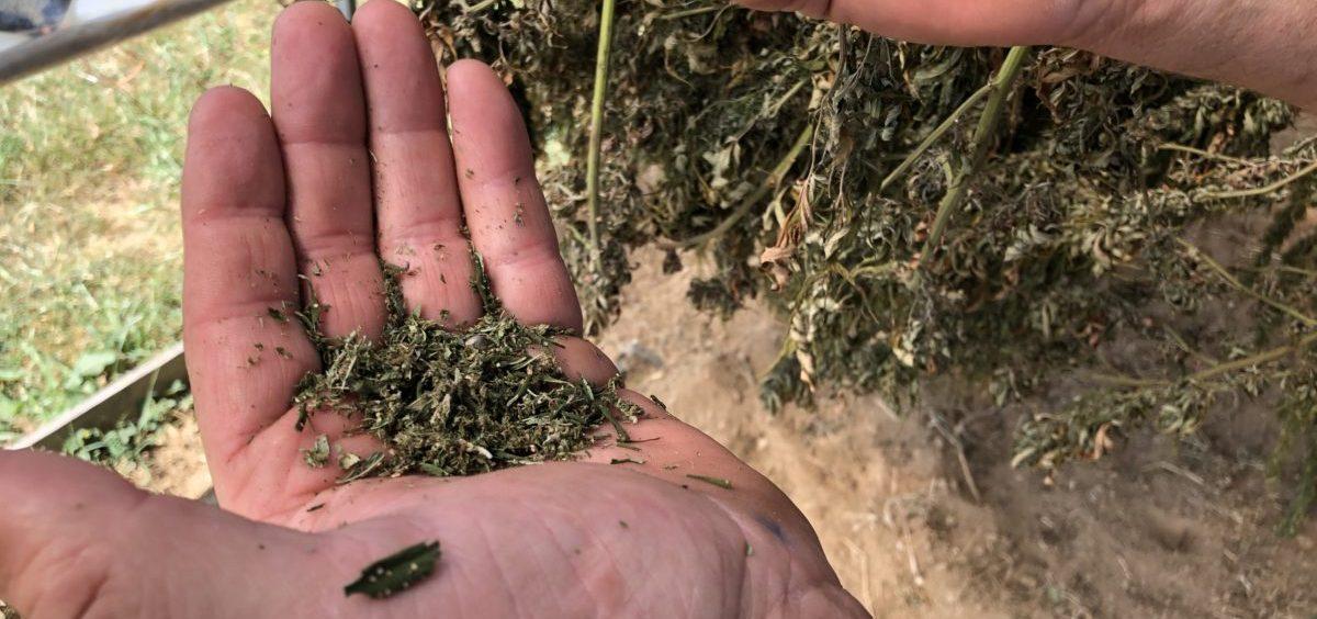 Tony Silvernail with a handful of crumbled hemp, on his farm near Frankfort, Kentucky.