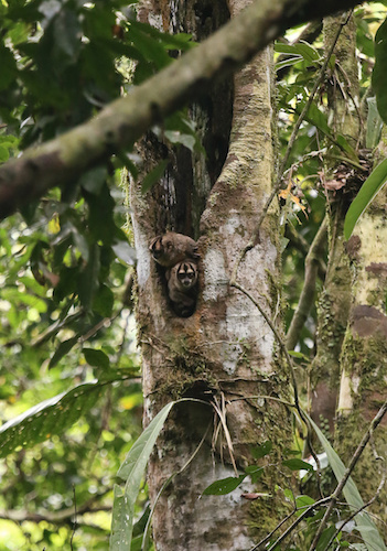 Night monkeys - NATURE: Undercover in the Jungle