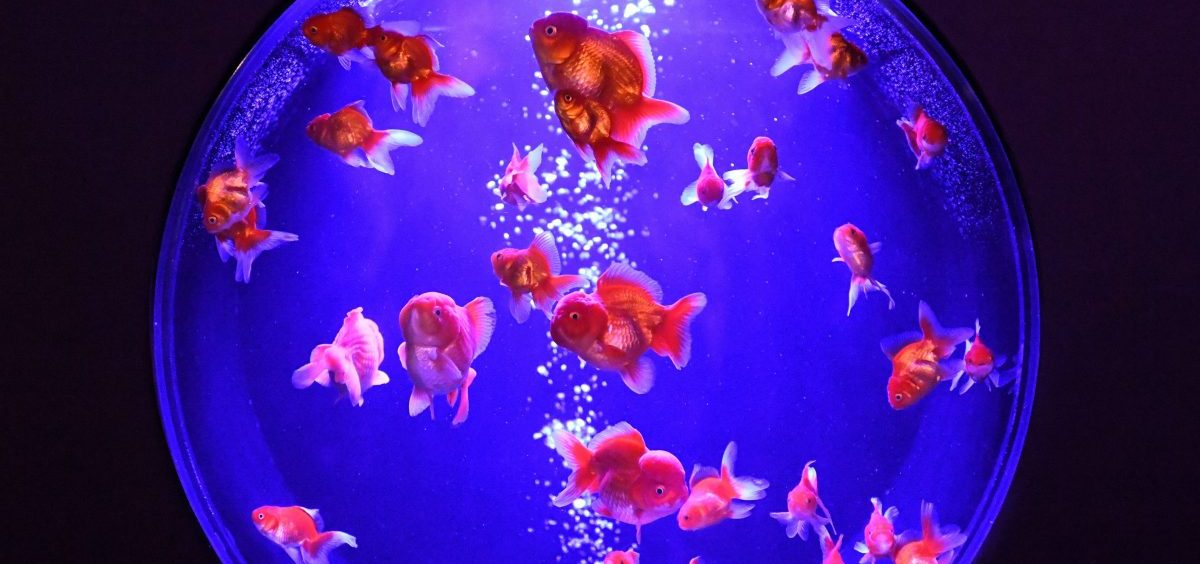 Goldfish, like these showcased at Tokyo's Nihonbashi Art Aquarium, have been bred in China over centuries, into forms so varied and rare that one can be worth hundreds of dollars.